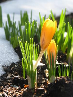 Flowers through the snow